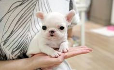 Tiny Teacup French Bulldog Puppies