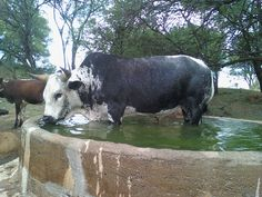 nguni cattle pictures - Google Search Ranch Farm, The Ranch, Exotic Animals, Exotic Pets, Buffalo Bulls, Chicken And Cow, Bucking Bulls, Livestock, Cows