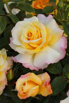 Tea Rose hybrid 'Sunny Sky'
