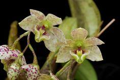 Latouria Orchid | Dendrobium cruttwellii T.M.Reeve 1980 SECTION Latouria