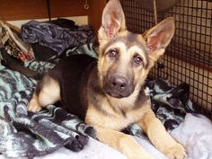 German shepherds puppys - Google Search