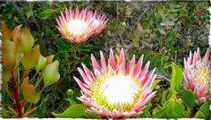 oesmanskloof - McGregor Accommodation - Eagle's Nest House and Onverwacht Cottages Accommodation are situated in the Riviersonderend mountains on the cliffs at the popular Greyton McGregor Hiking Trail Eagle Nest, Hiking Trails, Eagles, Flora, Nature, Plants, Naturaleza, Eagle, Plant