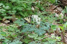 Eastern Tiger Swallowtail (Papilio glaucus) enjoying Squirrel Corn (Dicentra canadensis) Spring Wildflowers, Squirrel, Wild Flowers, Plant Leaves, Plants, Squirrels, Wildflowers, Plant, Planets