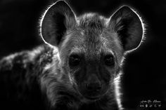 We interview Andre Bosman who takes a very average wildlife image and converts it into a beautiful fine-art wildlife image Wildlife Photography, Fine Art Photography, Animal Action, Raw Photo, Male Lion, Kruger National Park, Wild Dogs, Hyena, Travel Photographer
