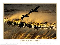 SURFING PELICANS Surfing Sunrise Poster - Photography by Woody Woodworth -Available at www.sportsposterwarehouse.com Poster Photography, Sports Posters, Surfs Up, Woody, Bald Eagle, Sunrise, Surfing, Retro, Animals
