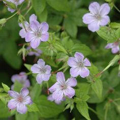 Buy knotted cranesbill Geranium nodosum - Provides ground cover in dry shade: Delivery by Waitrose Garden Shade Plants Container, Container Gardening Vegetables, Succulents In Containers, Container Flowers, Vegetable Gardening, Cottage Garden Plants, Garden Shrubs, Shade Garden, Cranesbill Geranium