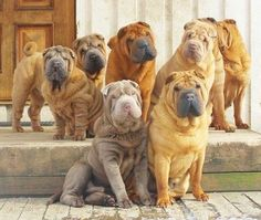Sharpei's can be amazing dogs if you take care of them properly. They need good training, an engaged owner who will pay attention to them, regular skin care and checkups, and social exposure. A healthy diet is always a must and they need exercise!