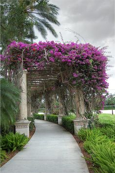 Bougainvillea Tunnel don't think they grow here