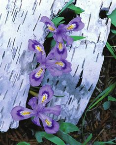 Dwarf lake iris, I love these! My mom always had iris's along our driveway when we were growing up.