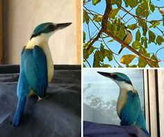 This lovely white collared Kingfisher has taken up residence on our GM's balcony! Looking a little fat around the tummy, maybe we'll see it nesting soon - stay tuned.. #treasurefiji #whitecollaredkingfisher #mangrovekingfisher