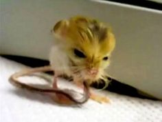 Weighing only 3 grams, the pygmy jerboa is one of the smallest mammals in the world.