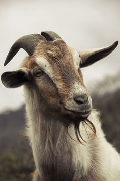 The community is dedicated to the beauty of living with animals; Cabras Animal, Farm Animals, Animals And Pets, Cute Goats, Goat Farming, Baby Goats, Tier Fotos, Cute Funny Animals, Animal Paintings
