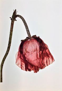 Single Poppy © Irving Penn