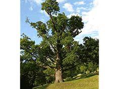 European tree of the year- Zechenter´s Garden Oak Pedunculate Oak (Quercus robur), Kremnica, Banská Bystrica region, yrs old Homeland, Castle, Earth, Garden, Plants, Pictures, Trees, Beautiful, Photos