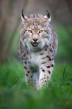 Lynx - Brought to you by Smart-e Nature Animals, Animals And Pets, Large Animals, Cute Animals, Wild Animals, Baby Animals, Big Cats, Cool Cats, Cats And Kittens