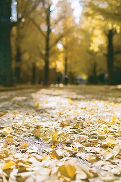 東大銀杏 | Flickr – 相片分享!