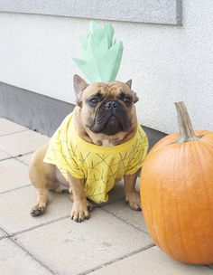 My favorite French bulldog in his Halloween pineapple costume // Little White Whale