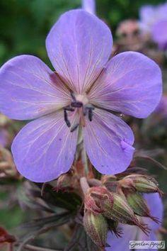 Geranium pratense Black Beauty (Nodbeauty)
