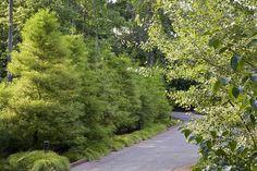 Highland Park Residence, Bald Cypress Hedge / Photo by Linda Oyama Bryan