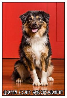 Spanky is an adoptable Australian Shepherd, Shetland Sheepdog Sheltie Dog in Central City, KY Spanky is about a year old neutered male and weighs a little over 30 pounds.  He is most likely ... ...Read more about me on @petfinder.com