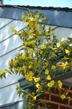 Gelsemium sempervirens 'Margarita' (Carolina jessamine or trumpetflower) - Vine - Zones 6-9, Height 8-12 ft. A reliable zone 6 Gelsemium? This is it! It has flowered in our gardens in Landenberg for 10+ years and the survival rate is 100%, with occasional dieback in the harshest winters. A profuse display of clear yellow trumpet flowers in early summer with semi-evergreen foliage. A Gold Medal Award winner from the Pennsylvania Horticultural Society, and hummingbirds & butterflies love it…
