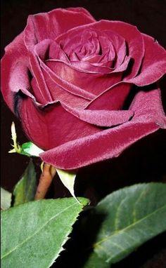 list of hybrid tea roses Beautiful Rose Flowers, Beautiful Flowers Wallpapers, Pretty Roses, Exotic Flowers, Amazing Flowers, Pretty Flowers, Colorful Flowers, Belle Image Nature, Image Nature Fleurs