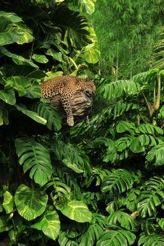 A sleeping Javanese Leopard in the jungle surroundings.
