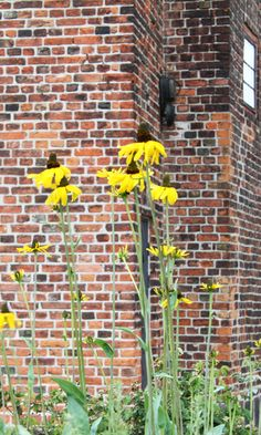 Beautiful yellow rudbecki flowers grows besides the royal walls of the castle. Copyright: Rosenborg Castle / Rosenborg Slot
