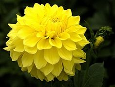 Dahlia Yellow Present