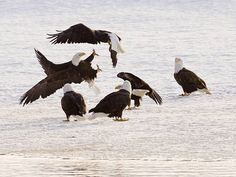 USA Today:  10 Great Places to Celebrate Animals.  Haines Alaska Bald Eagle Festival!