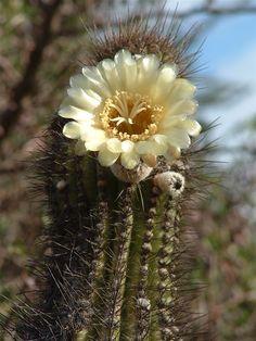xPacherocactus orcuttii