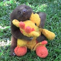 Baby Sloth.  AWW.  Look at how much it loves that stuffed animal!