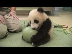 Baby Panda Loves Ball...my dad showed me these and it is the cutest thing I have ever seen!!! ;D