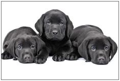 Three Cute Black Labrador Retriever Puppies