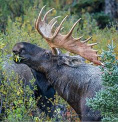 Photograph Impressive by Debbie Tubridy on Moose Hunting, Bull Moose, Moose Pictures, Animal Pictures, Beautiful Creatures, Animals Beautiful, Animals And Pets, Cute Animals, Chocolate Moose