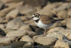 2013-Little---Ringed-Plover by JACK SNIPE WILDLIFE PHOTOGRAPHY ZENFOLIO.COM, via Flickr
