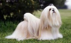 5 Calm Dog Breeds – Best Family Dogs – DOGBEAST Everything you want to know about Lhasa Apso including grooming, Border Terrier, Cairn Terrier, Tibetan Terrier, Lhasa Apso, Clumber Spaniel, Coton De Tulear, Bearded Collie, Afghan Hound, Best Dogs For Families