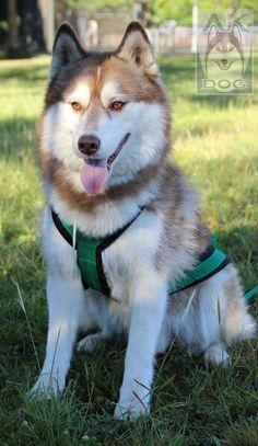 Arnês X-Back Verde Bandeira de Neoprene #sleddog #mushing #sportdog #akdog