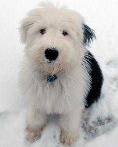 old english sheepdog photo | Old English Sheepdog Puppy (image via fanpop.com)