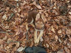 Thor - Liver & Tan German Shepherd Puppy