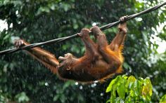The Bornean orangutan is now recognised as a different species from its Sumatra relative. Three subspecies are recognized: Pongo pygmaeus pygmaeus, P.p. morio, and P. p. wurmbii, the most common Bornean subspecies. Although extensive, the latter's habitat is increasingly fragmented in the remaining swamp and lowland dipterocarp forests of Central and West Kalimantan.