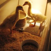 Milk Jug Duck Waterer Chicken Coops Amp Fowl Ideas