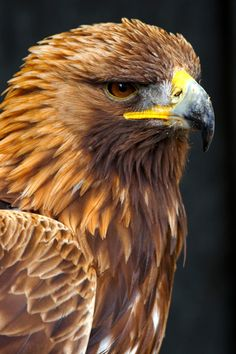http://animalsbirds.com/wp-content/uploads/2016/07/Beautiful-Birls-Golden-Eagle-Images-HD-Wallpapers-682x1024.jpg