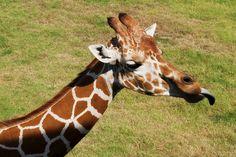 184/366: Giraffe makes a face - At the Tulsa Zoo yesterday.    Nikon D5000, f/9, 1/250 sec, 55mm