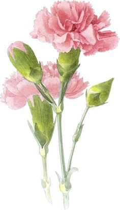 My mums favourite flower was a carnation and favourite colour was pink Watercolor Cards, Watercolor Flowers, Watercolor Paintings, Watercolors, Art Floral, Flower Images, Flower Art, Carnation Tattoo, Carnation Drawing