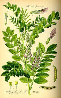 """#Echtes_Süßholz (Glycyrrhiza glabra), Illustration """"Echtes Süßholz (Glycyrrhiza glabra) ist eine Pflanzenart aus der Unterfamilie Schmetterlingsblütler (Faboideae) innerhalb der Familie der Hülsenfrüchtler (Fabaceae). Am bekanntesten ist das Echte #Süßholz als die aus der Pflanze gewonnene Süßigkeit Lakritze. In Tees findet die Pflanze ebenfalls Verwendung."""""""