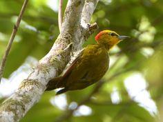 Pica-pau-bufador (Foto: Rudimar Narciso Cipriani/ TG)
