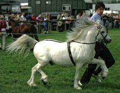 welsh mountain pony a horses pinterest welsh horse and rh pinterest com
