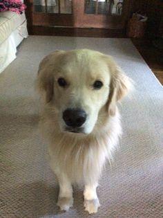 Golden Retriever Logo Silhouette Pinterest Dog - Golden retriever obedience competition fail