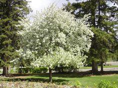 バンフのうわさ: りんごの花
